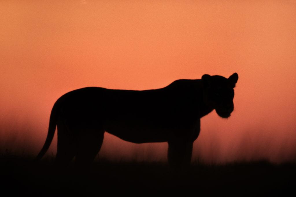 Frans Lanting, big cat, predatory cat, Botswana, Africa