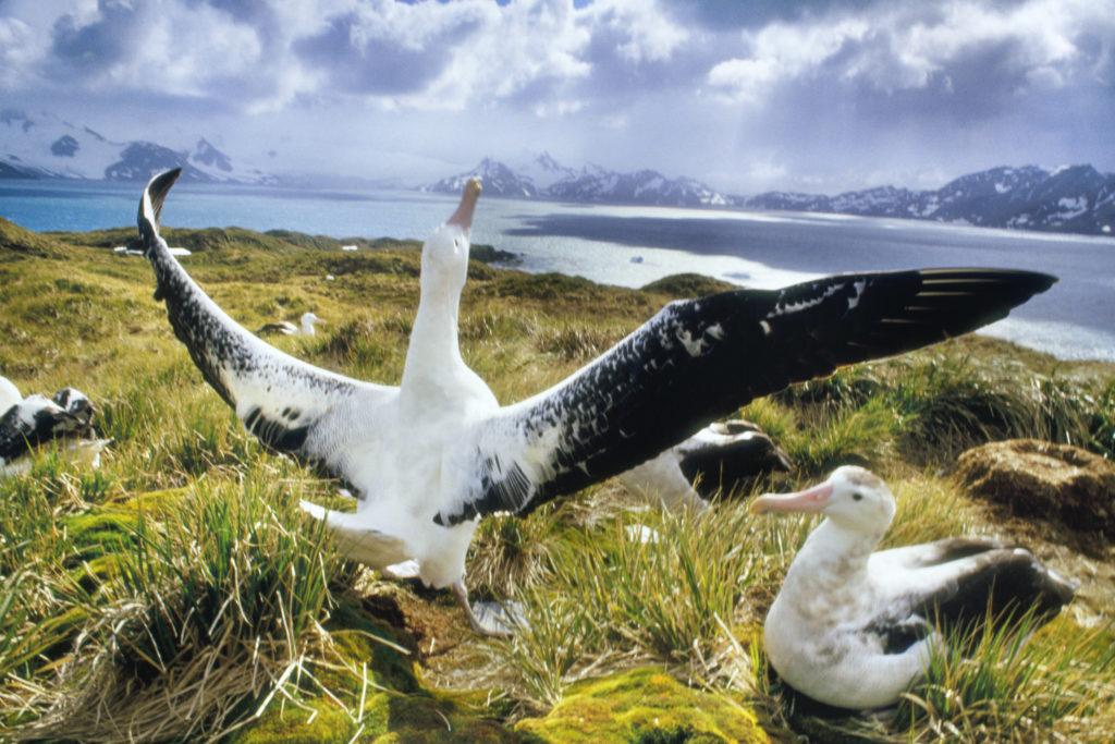 Frans Lanting, animal, bird, horizontal, outdoor, Albatros, South America