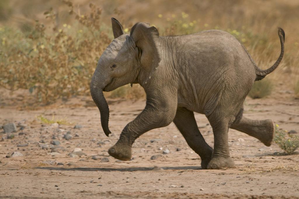 Frans Lanting, animal, mammal, africa, elephant, Namibia