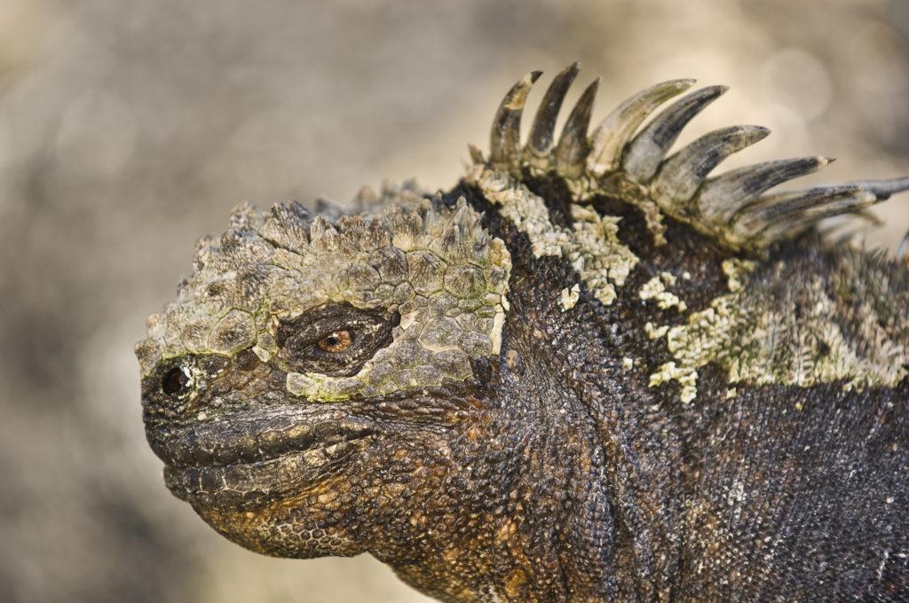 Frans Lanting, macro, close up, amblyrhynchus cristatus, marine iguana, Galapagos Islands,