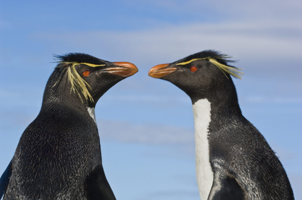 Frans Lanting, group, walking, cool, eudyptes chrysocome, penguin, rockhopper penguin, South America