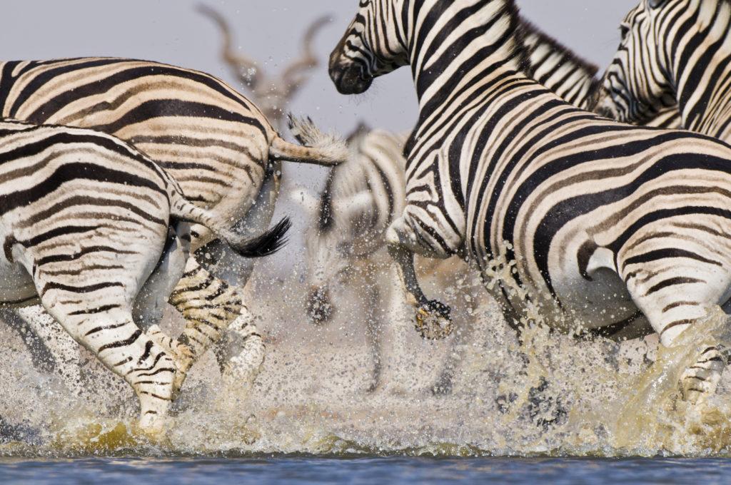 Frans Lanting, Zebras, Wasserloch, Aufregung, Flucht