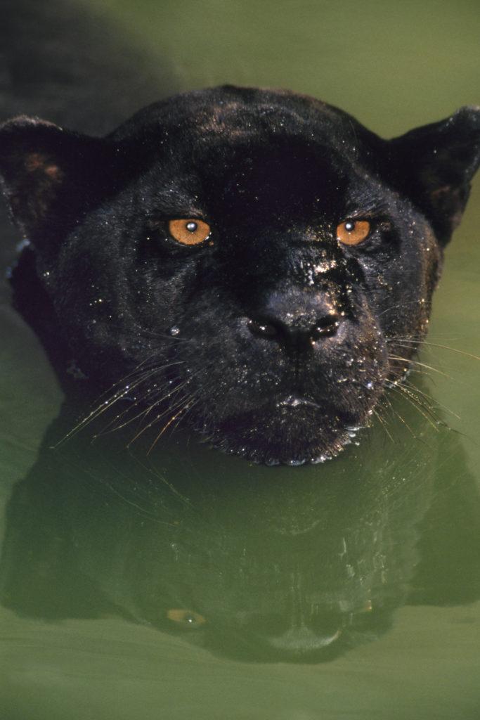 Frans Lanting, Raubkatze, schwimmen, makro, grossaufnahme, macro, makroaufnahme, macroaufnahme, Schwarzer Panther