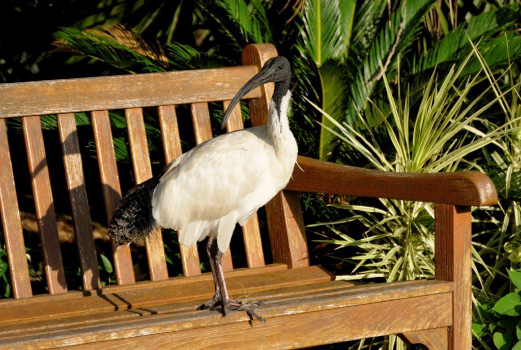 park, Sydney, Australian White Ibis, summer, Australia