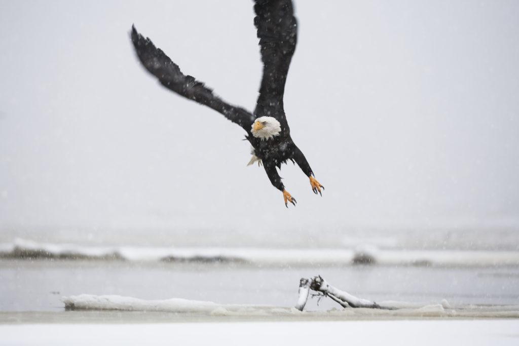 Bald Eagle, Alaska Stock, Beach, Approach, Freedom