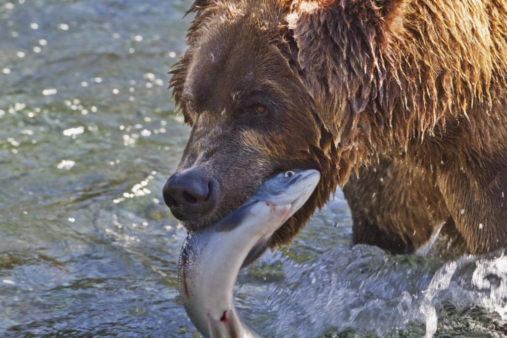 Bear, salmon, catch, river, Alaska Stock, USA