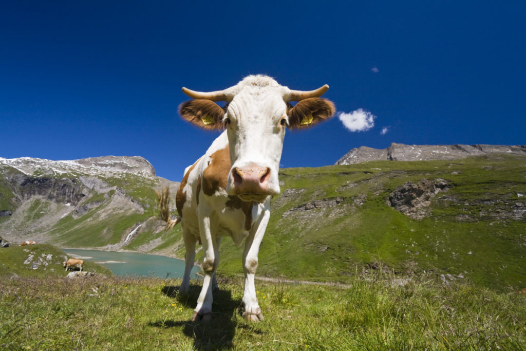 Cows, meadow, Bergsee, Grossglockner High Alpine Road, Nationalpark High Tauern, Carinthia, Austria, Imagebroker
